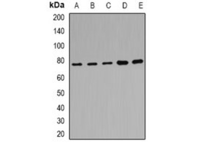POR antibody