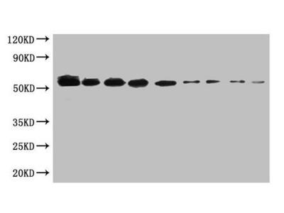 SUMO tag antibody