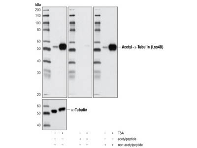 Acetyl-α-Tubulin (Lys40) (D20G3) XP ® Rabbit mAb