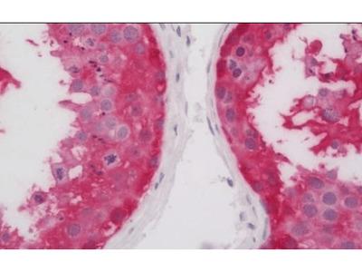 ASB9 antibody