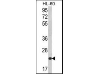 KLRC2 antibody