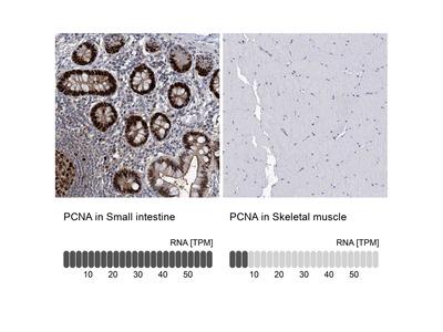 Anti-PCNA Antibody