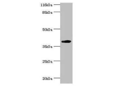 H2-D1 antibody