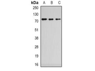 ZCWPW1 antibody