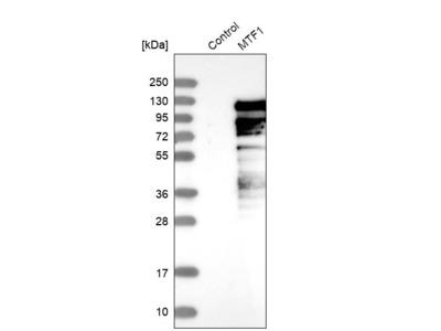 Anti-MTF1 Antibody