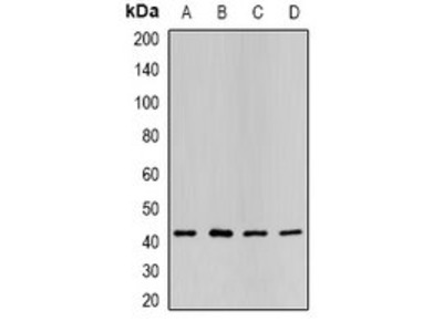 P2RY2 antibody