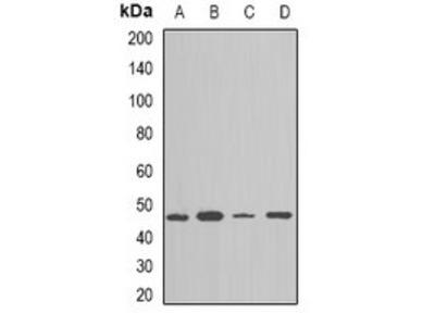 NAP1L1 antibody