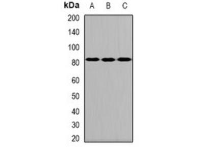 ALOXE3 antibody