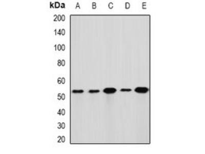 GLUD1 antibody