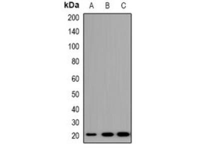 TRAPPC5 antibody