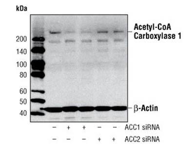 Acetyl-CoA Carboxylase 1 Antibody
