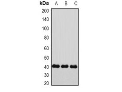 GJA5 antibody