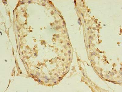 GKAP1 antibody