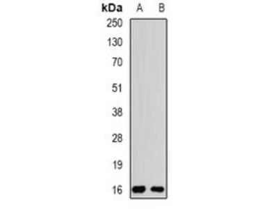 POP7 antibody