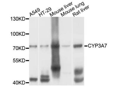 CYP3A7 antibody