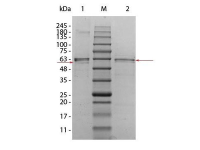 Human AKT2 protein