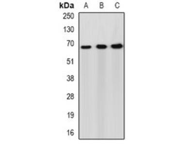 PACSIN2 antibody