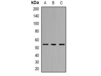 THNSL2 antibody