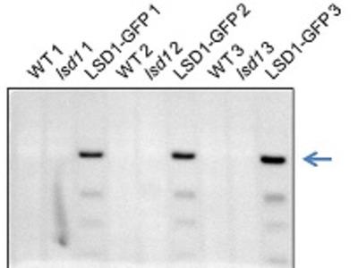Anti- LSD1 ; Lesion simulating disease 1 (chicken antibody)