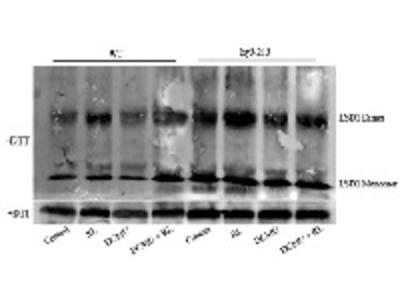 Anti- LSD1 ; Lesion simulating disease 1 (rabbit antibody)