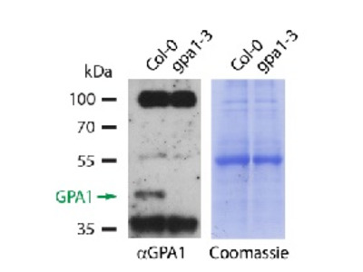 Anti- GPA1 ; Guanine nucleotide-binding protein subunit alpha 1 (affinity purified)