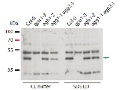 Anti- GPA1 ; Guanine nucleotide-binding protein subunit alpha 1