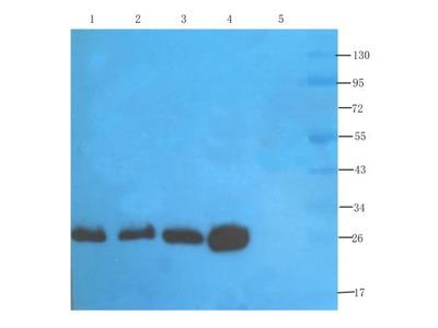 CD3 epsilon Antibody (145-2C11)