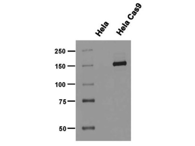 Mouse CRISPR-Cas9 Antibody Pack