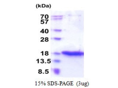 ZG16 Recombinant Protein