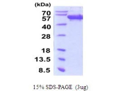 Secernin-1 Recombinant Protein