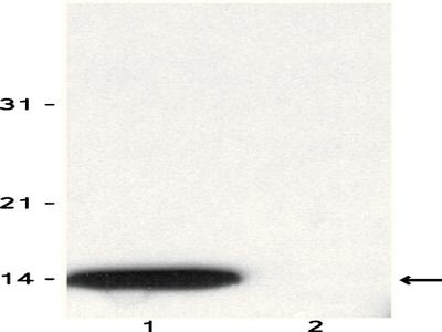 Anti-phospho-Histone H2A.X (Ser139) Antibody, clone JBW301
