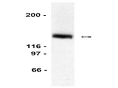 Anti-LexA Antibody, DNA-binding region