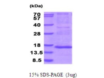 MRPS28 Recombinant Protein