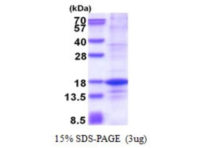 Histone H2A.Z Recombinant Protein