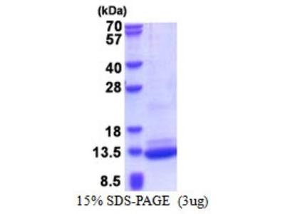 BRICK1 Recombinant Protein