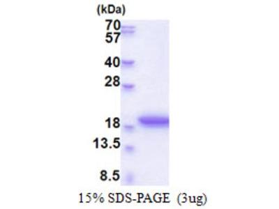 MRFAP1L1 Recombinant Protein