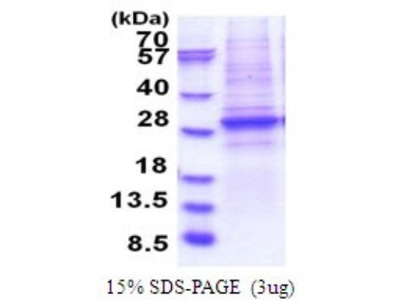 Brg1 Recombinant Protein