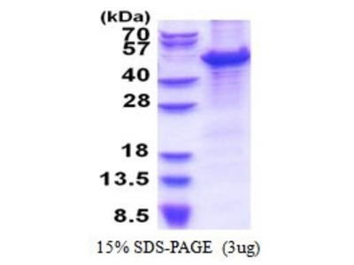 MCM7 Recombinant Protein