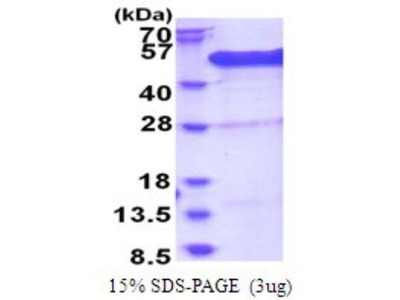 BCCIP Recombinant Protein