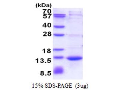 CAMK2N1 Recombinant Protein