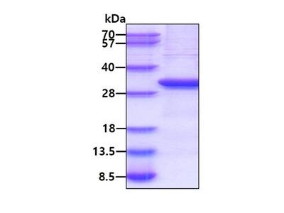Lymphotoxin beta R/TNFRSF3 Recombinant Protein