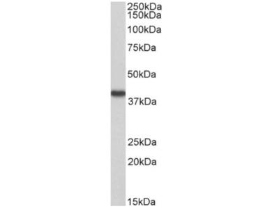 anti Hydroxyacid oxidase 2 / HAOX2 (54-67)