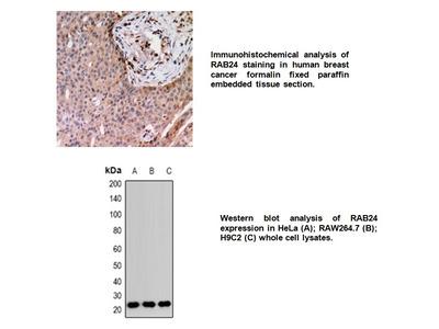 Anti-RAB24 Antibody