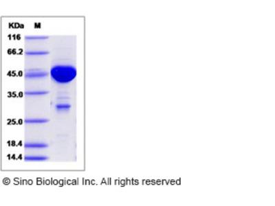 Human MOBKL1A / MOB1B Protein (GST Tag)