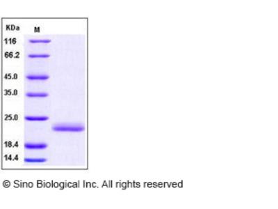 Human IL-1 alpha / IL1A / IL1F1 Protein