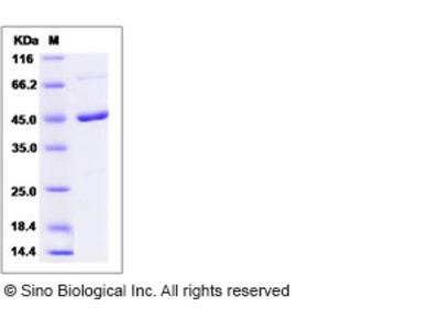 Mouse MEK1 / MAP2K1 / MKK1 Protein