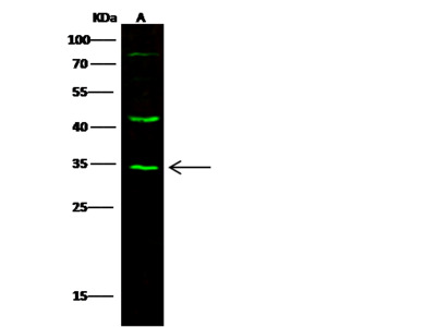 HHEX Antibody, Rabbit PAb, Antigen Affinity Purified