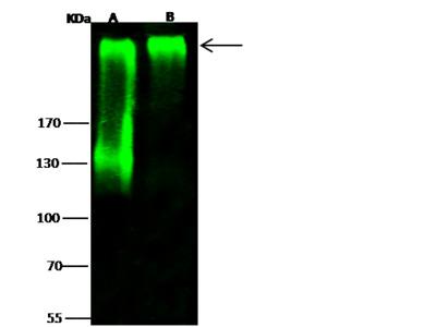 Cspg4 Antibody, Rabbit PAb, Antigen Affinity Purified