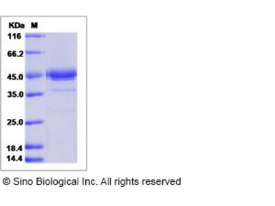 Mouse Artemin / ARTN Protein (Fc Tag)