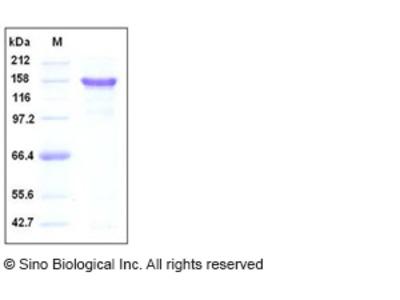 Human APP / Protease nexin-II Protein (Fc Tag)